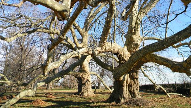 Grandi alberi fuori dal bosco