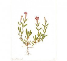 Gallery - Botanica, Tavole illustrate di Petrazzini e Tosco